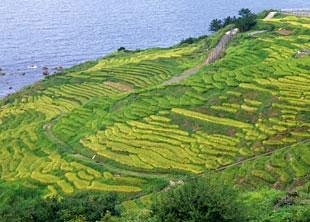 Shiroyone Rice Paddies